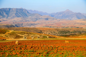 Sheep on a cultivation field with mountains in the background (Lesotho)