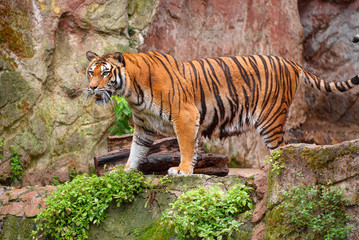 Beautiful pretty sad angry tiger is standing on stone rock under the rain. Holidays vacation tours best famous sightseeing places. Orange tiger angry cat