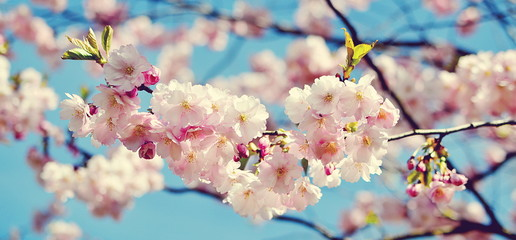 Sakura blossom. Japan cherry under blue sky in sunny day
