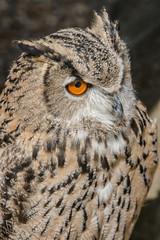 Cloe up view of eagle owl.