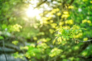 Sun rays fresh green foliage Spring nature background