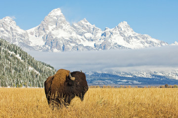 Poster Bison Bison in front of Grand Teton Mountain range with grass in foreground