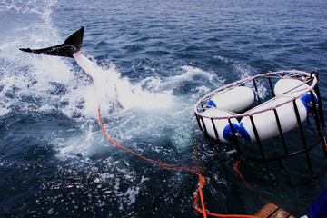 A GREAT WHITE SHARK PLUNGES BENEATH A DIVERS CAGE.