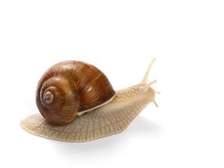 snail isolated on white background, Helix pomatia