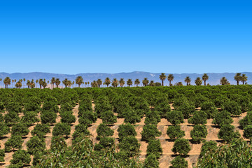 Orange Grove with Clear Blue Sky with a line of Palm Trees and Mountians in the Background