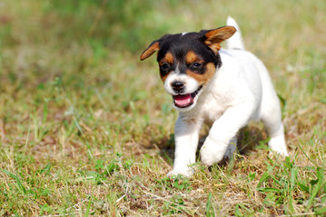 Little domestic dog play in the yard. Puppy play and running in the grass.