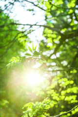 Sun rays and fresh green leaves. Spring time nature background
