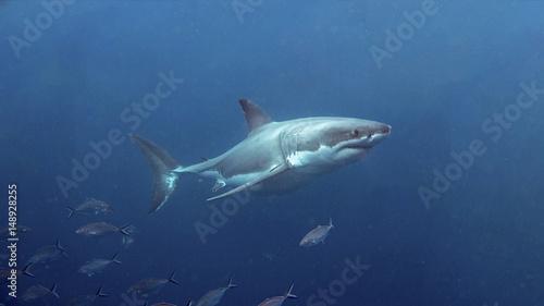 Neptune Islands Great White Shark Diving