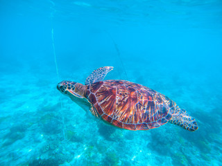 Wild turtle in turquoise blue water. Olive green turtle underwater photo.