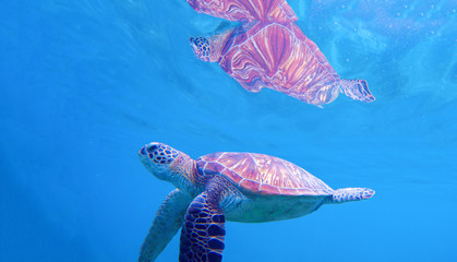 Sea turtle under water surface. Swimming turtle in blue seashore. Sea tortoise snorkeling photo