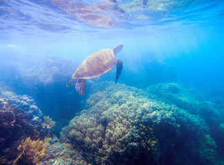 Sea turtle in sunlight. Wild turtle in blue water. Sea tortoise snorkeling photo.