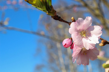 Spring Cherry blossoms, pink flowers