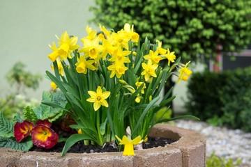 Daffodil flower in grass. Slovakia