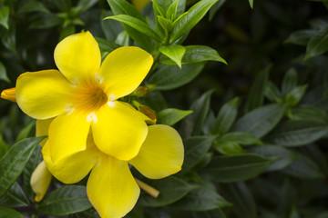 Yellow flower on green bush. Summer tropical blossom.