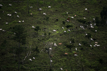 Cattle graze in the Peten jungle in this aerial picture near the border with Belize