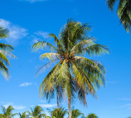 Tropical island Palm tree closeup. Bright blue sky background.