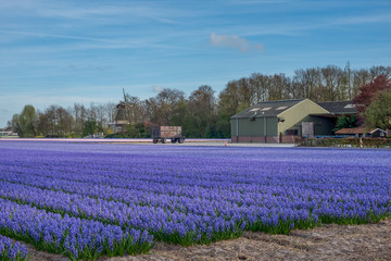 Acrylic Prints Flower shop Colourful field of Hyacinth near Keukenhof, the Netherlands