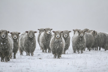 In de dag Schapen cold sheep