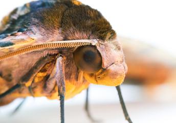 Privet Hawk Moth head macro photo on white background.