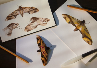 Privet hawk moth and hand-drawn illustrations. Tropical butterfly and drawings flat lay photo on table.
