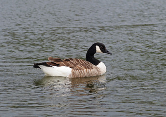 Standard Canada goose in a pond