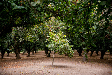 Lone Filbert Tree in Orchard