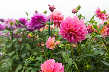 Chrysanthemums in pink and purple