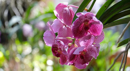 Beautiful orchid flower on with natural background, (Rhychostylis -Orchid) tropical in Thailand,Flower with soft focus.