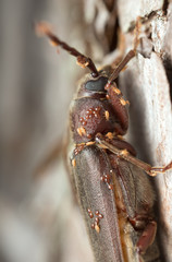 Long horn beetle, Arhopalus rusticus with parasites