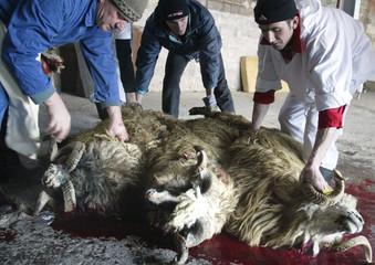 Bosnian Muslims secrifice sheep on Eid al-Adha in Sarajevo.