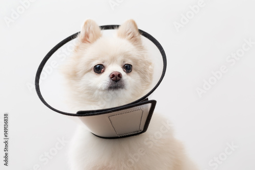 pomeranian collar quot pomeranian wearing protective collar quot stock photo and 1111
