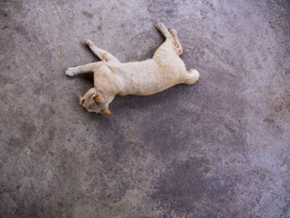 Yellow White Cat Striped Head Notch Lying