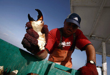 Crabber holds claw of stone crab north of Marathon in the Florida Keys