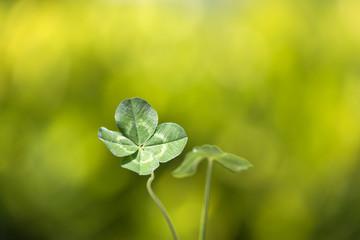 木陰で揺れる四つ葉のクローバー