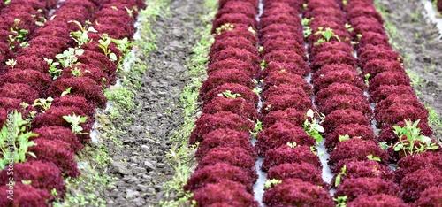 Culture de salade en plein champ photo libre de droits sur la banque d 39 images - Culture haricot vert plein champ ...