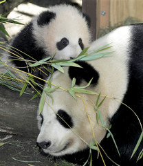 BABY GIANT PANDA MEI SHENG CLIMBS ON MOM BAI YUN.