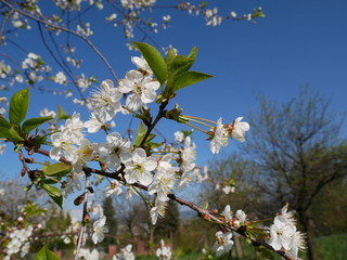 White cherry blossom against sky on sunny day