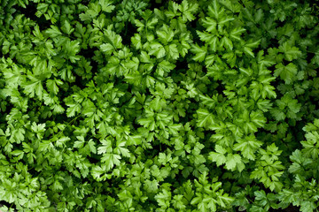 Parsley background