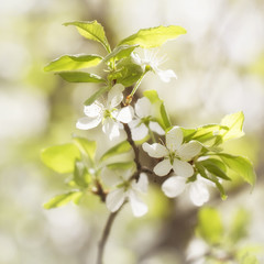 Blooming branch of a plum colorful sunny bright spring background