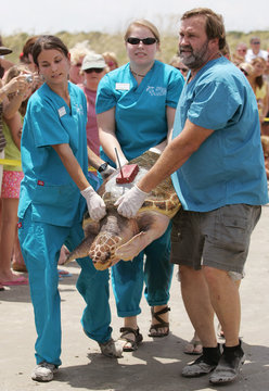 A loggerhead sea turtle named Golden Boy is carried to the water by staff members of the Georgia Sea Turtle Center on Jekyll Island