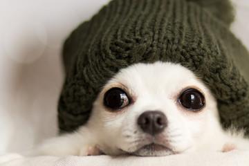 ニット帽をかぶったチワワ