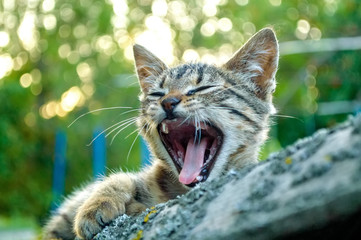 Yawning kitten outdoors