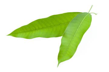 Mango leaf isolated on white background.