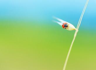 Cute ladybird on wheat spike