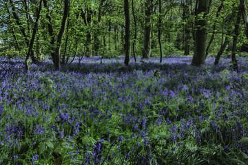Bluebell woods in full bloom