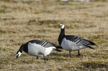 Bernache nonnette, Branta leucopsis, Barnacle Goose, Norvège, Spitzberg, Svalbard
