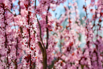 Cherry Tree Twigs. Spring Background.