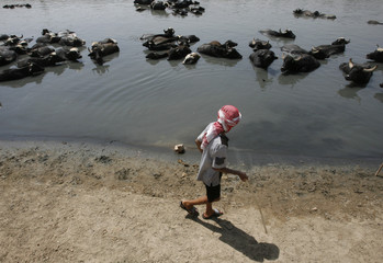 A boy walks past water buffalos in Tigris river during a warm summer day in eastern Baghdad
