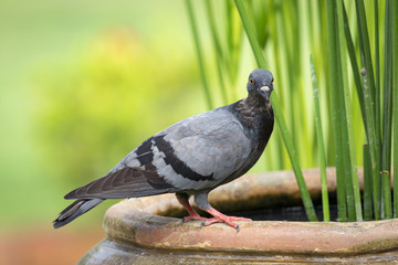 Image of pigeon on nature background. Bird. Animals.