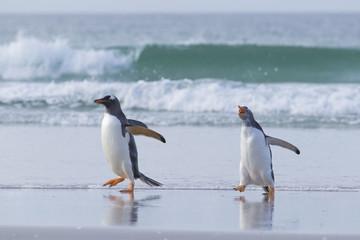 Grumpy penguin chasing buddy.